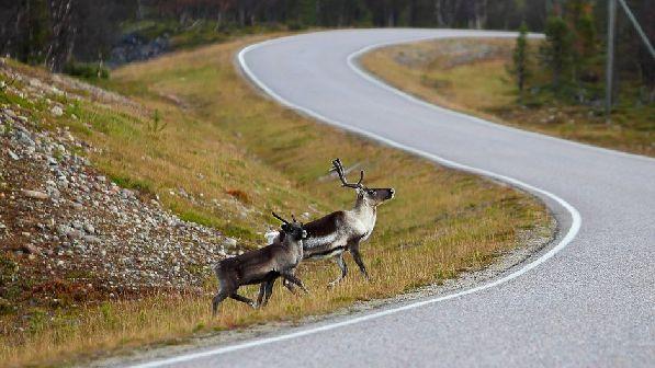Олени на дороге - будьте осторожны!