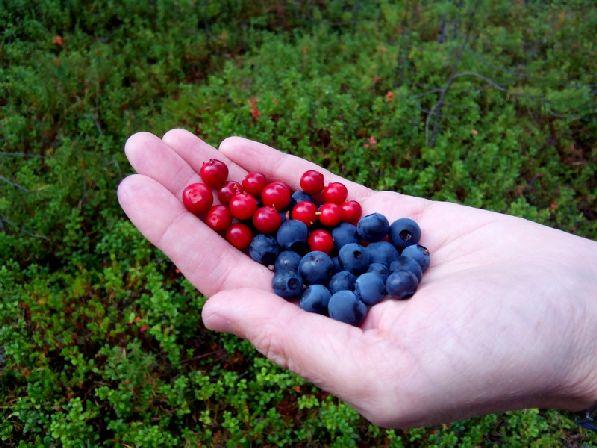В августе финские леса полны полезными ягодами.