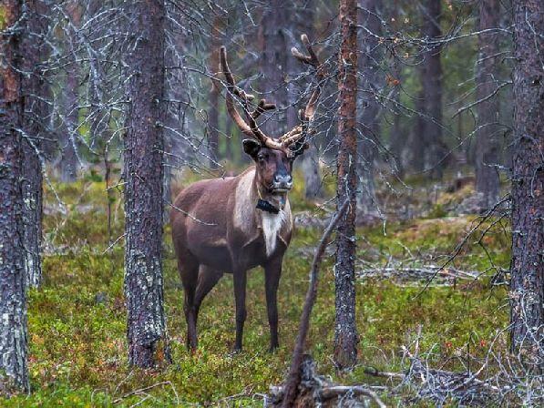 Не удивляйтесь, если во время прогулки по лесу вам повстречается его обитатель - олень.