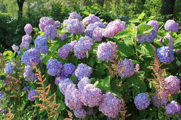 В августе сады и парки услаждают взор разнообразными цветами.