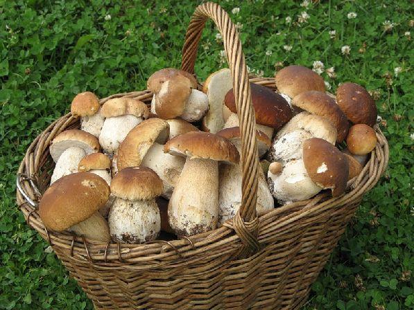 Белых грибов в финских лесах очень много, удивительно, но местные жители их не очень любят.
