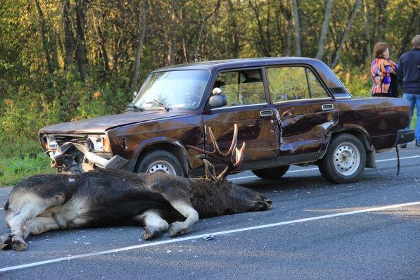 Животные, выскакивающие внезапно на проезжую часть  - одна из самых частых причин возникновения ДТП в  Финляндии.