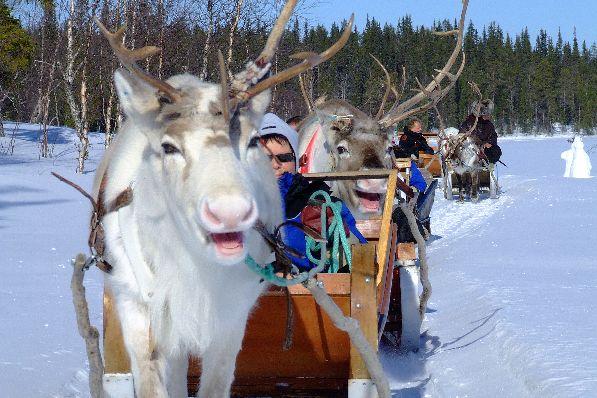 Изюминка финской горнолыжки - катание на северных оленях.